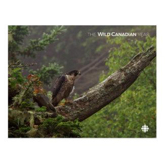 Carte Postale Chute - faucon pérégrin