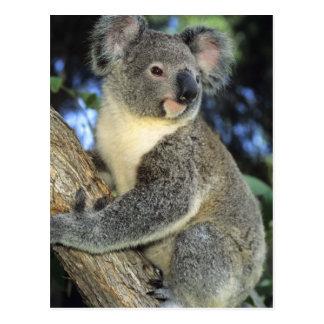 Carte Postale Cinereus de koala, de Phascolarctos), l'Australie,