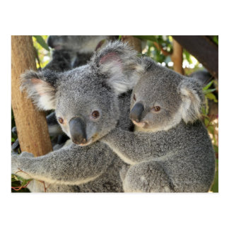 Carte Postale Cinereus Queensland de Phascolarctos de koala.