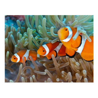Carte Postale Clownfish