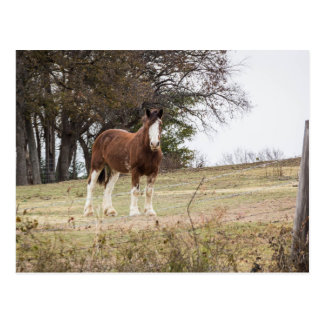Carte Postale Clydesdale