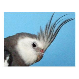 Carte Postale Cockatiel masculin de Whiteface