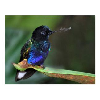 Carte Postale Colibri assez noir, bleu et vert