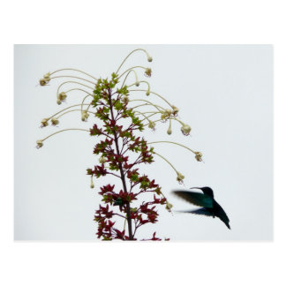 Carte Postale Colibri - Martinique, FWI