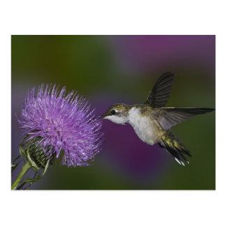 Carte Postale colibri Rubis-throated en vol au chardon