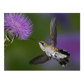 Carte Postale colibri Rubis-throated en vol au chardon 2