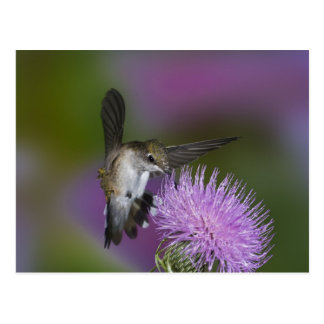 Carte Postale colibri Rubis-throated en vol au chardon 3
