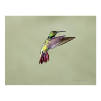 Carte Postale Colibri Vert-breasted Anthracocorax 2 de mangue