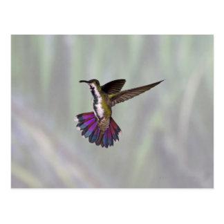 Carte Postale Colibri Vert-breasted Anthracocorax 3 de mangue