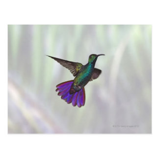 Carte Postale Colibri Vert-breasted Anthracocorax de mangue