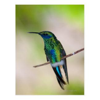 Carte Postale Colibri vert de Violet-oreille