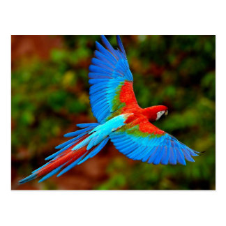 Carte Postale Colorful Scarlet Macaw flight