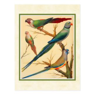 Carte Postale Conure vintage et perruches