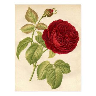 Carte Postale Copie botanique vintage - rose rouge