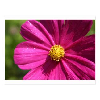 Carte Postale Cosmos rose