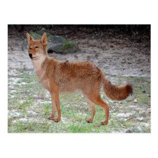 Carte Postale Coyote (le Dakota du Sud)