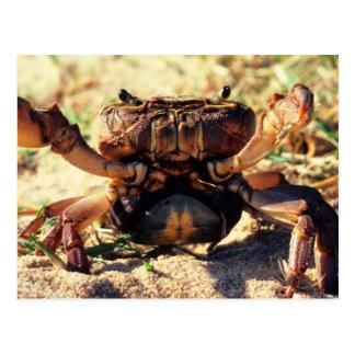Carte Postale Crabe d'eau douce observant, Durban
