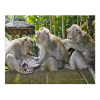 Carte Postale Crabe-mangeant le Macaque, fasciularis de Macaca,