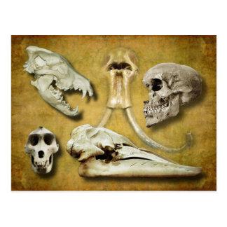 Carte Postale Crânes - loup, mammouth, humain, babouin, baleine