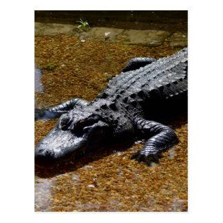 Carte Postale Crocodile