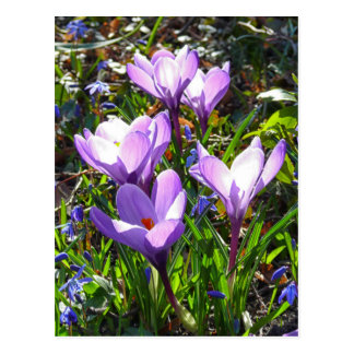 Carte Postale Crocus violets 02,0, salutations de ressort