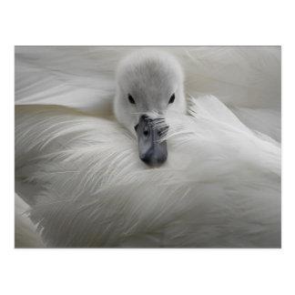 Carte Postale Cygne, belles plumes blanches, confort de beauté