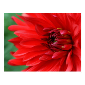 Carte Postale Dahlia rouge vibrant