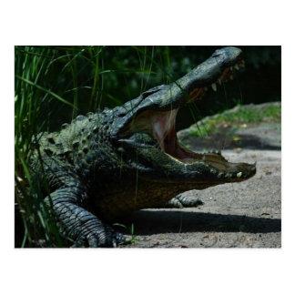 Carte postale d'alligator