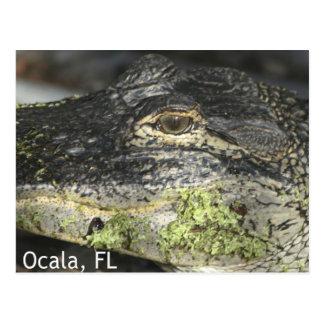Carte postale d'alligator d'Ocala