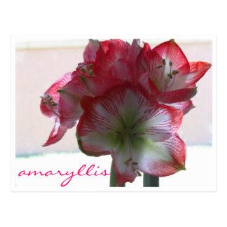 carte postale d'ampoule d'amaryllis de fleur