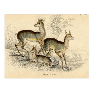 Carte postale d'antilope