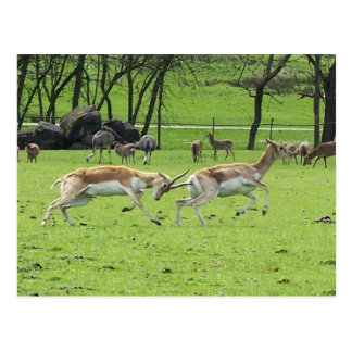 Carte postale d'antilope de Blackbuck