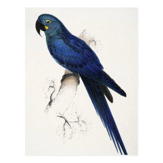 Carte postale d'ara de jacinthe