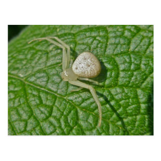 Carte postale d'araignée de crabe