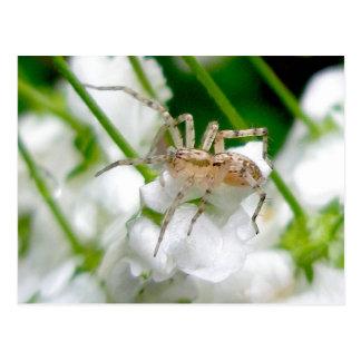 Carte postale d'araignée de fantôme (Anyphaenid ?)