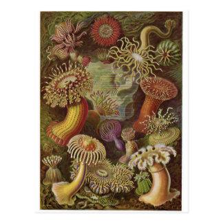 Carte postale d'art d'Ernst Haeckel : Actiniae
