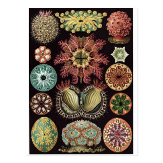 Carte postale d'art d'Ernst Haeckel : Ascidiae