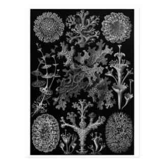 Carte postale d'art d'Ernst Haeckel : Lichenes