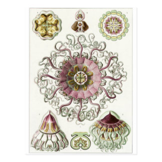 Carte postale d'art d'Ernst Haeckel : Peromedusae