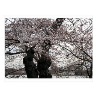 Carte Postale DC de Washington de fleurs de cerisier