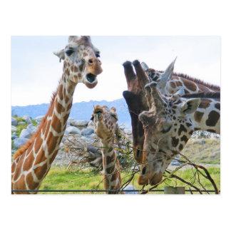 Carte postale de bavardage de girafe