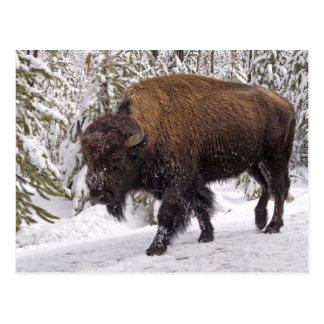 Carte postale de bison américain (bison de bison)