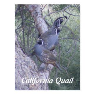 Carte postale de cailles de Californie