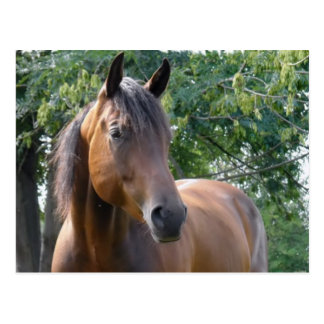 Carte postale de cheval de pur sang de baie