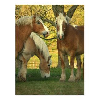 Carte postale de chevaux de trait de palomino