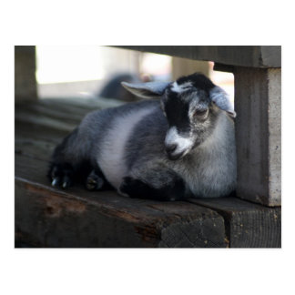 Carte postale de chèvre