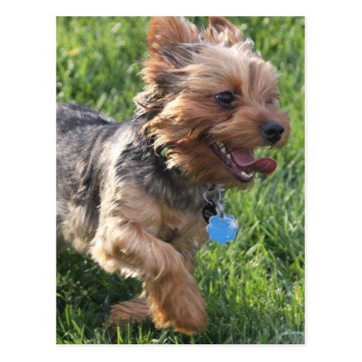 Carte postale de chien de York Terrier