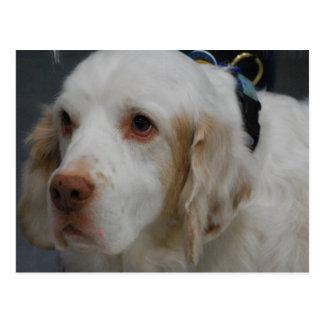 Carte postale de chien d'épagneul de Clumber