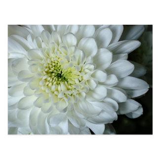 Carte postale de chrysanthème