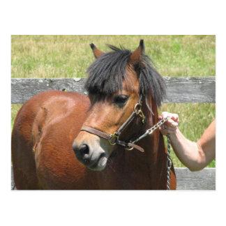 Carte postale de conception de poney de Shetland